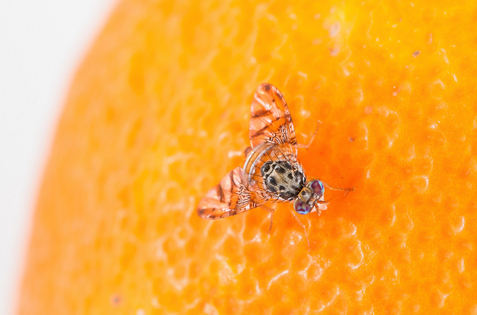 Μύγα της Μεσογείου (med fly)